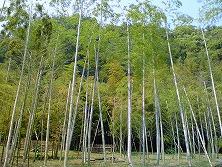 日本中の孟宗竹はここに植えられた2株が先祖